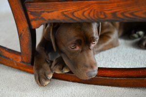 Brown Labrador sat under a rocking chair