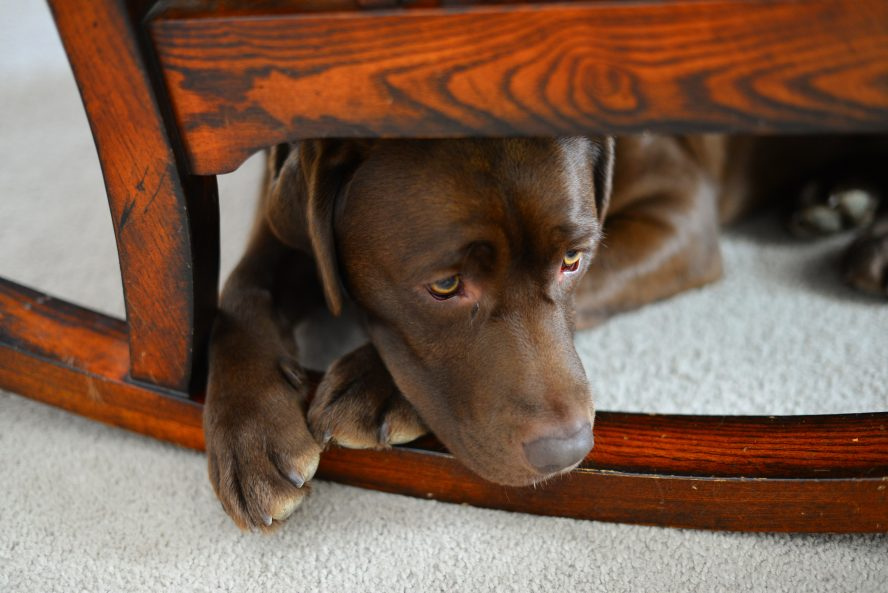 Brown Labrador sat under a rocking chair