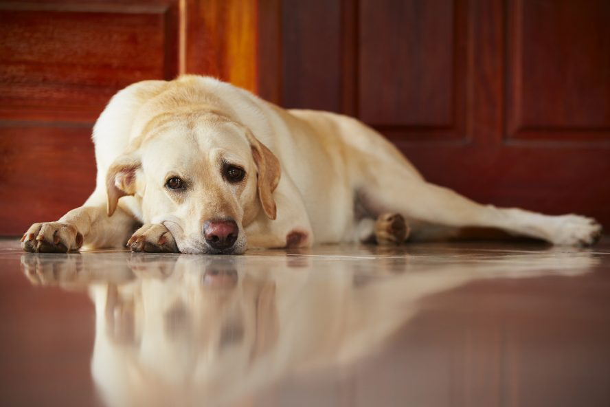 Labrador led on the kitchen floor