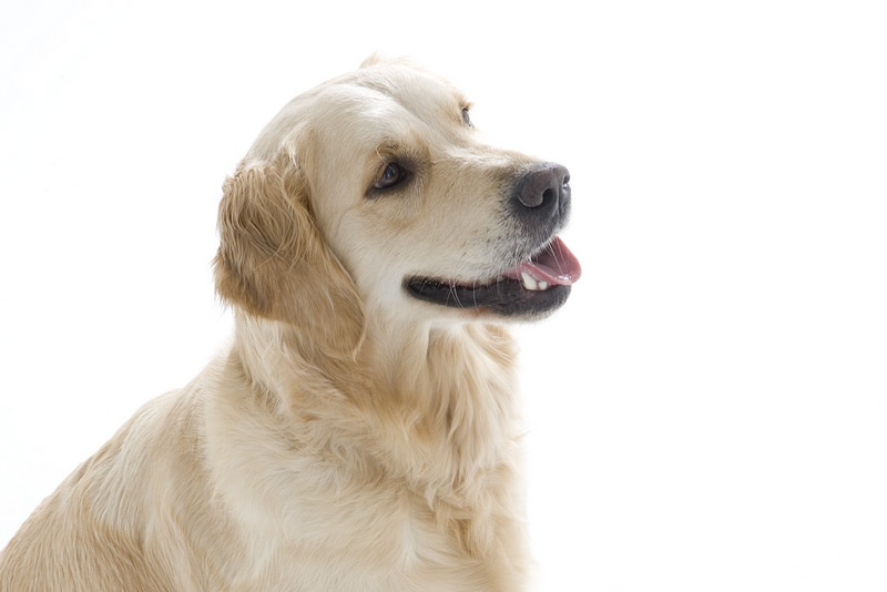 Lead by Example - Golden Retriever