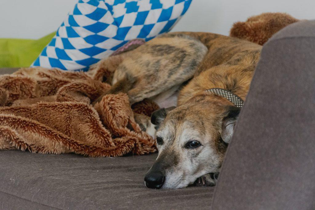 Lurcher sleeping on the sofa