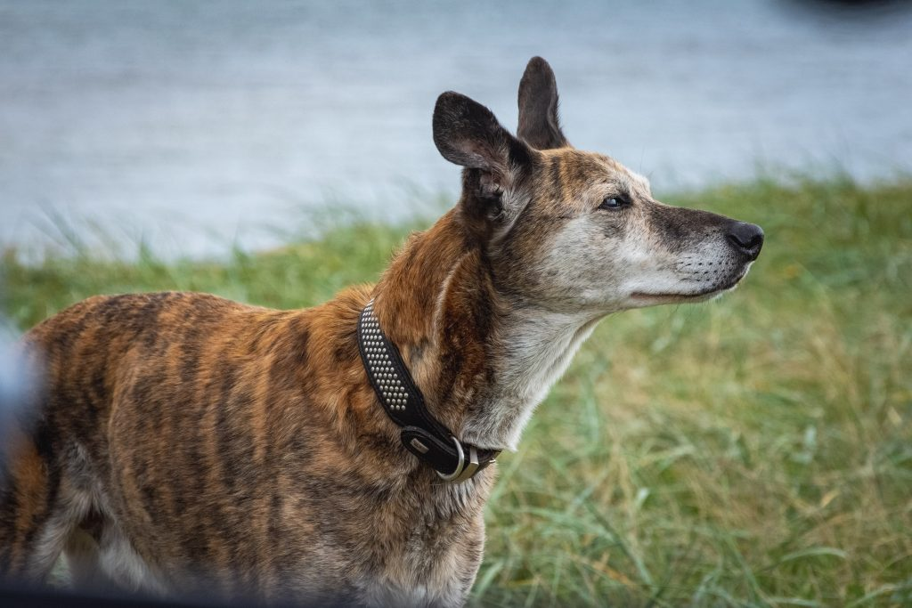 Lurcher outside at the beach