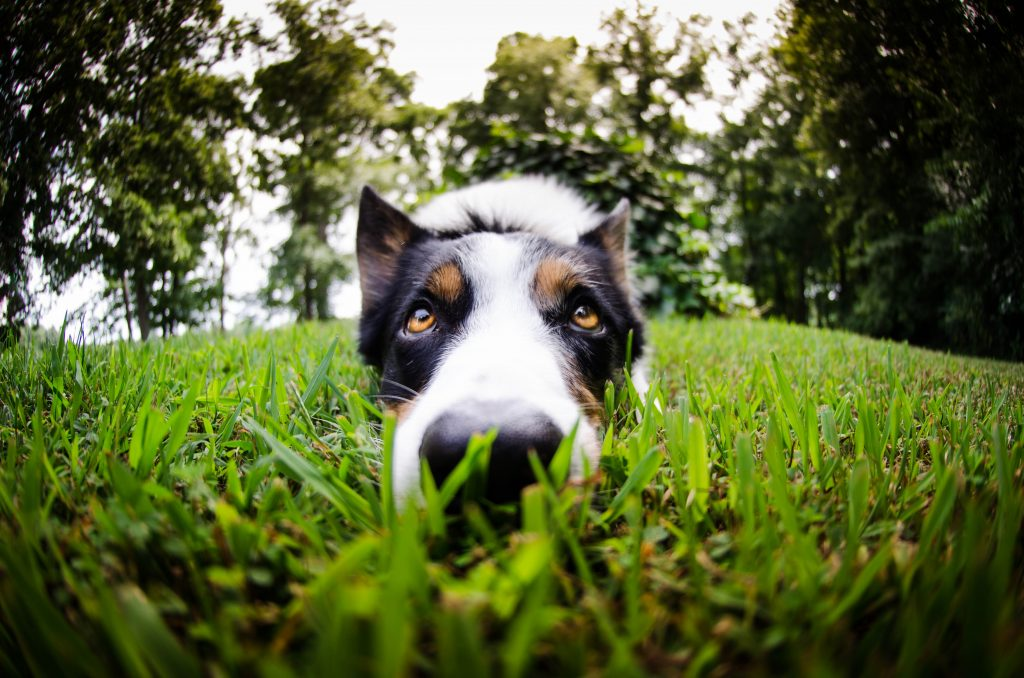 Dogs can pick up eggs on their nose and paws and ingest them when grooming.