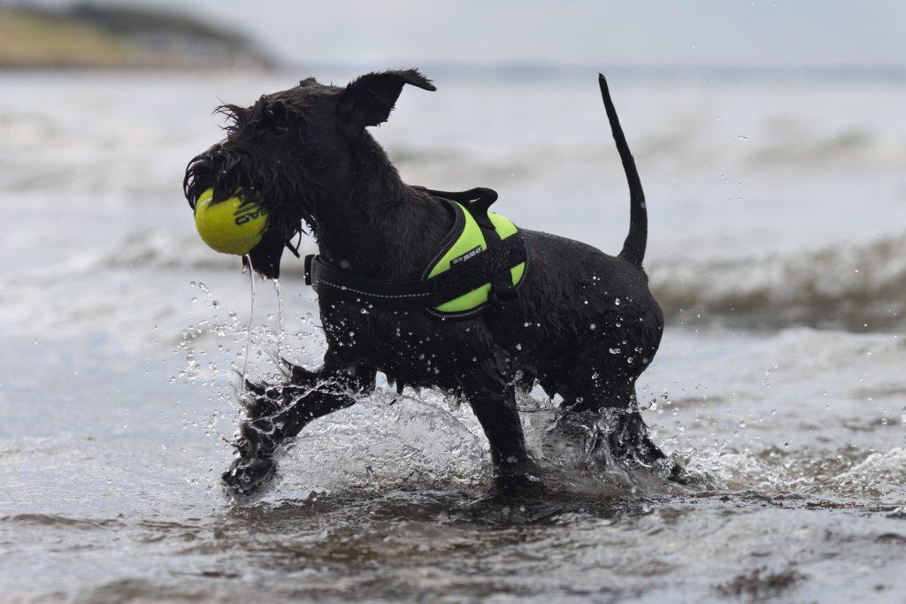 Schnauzer at the beach
