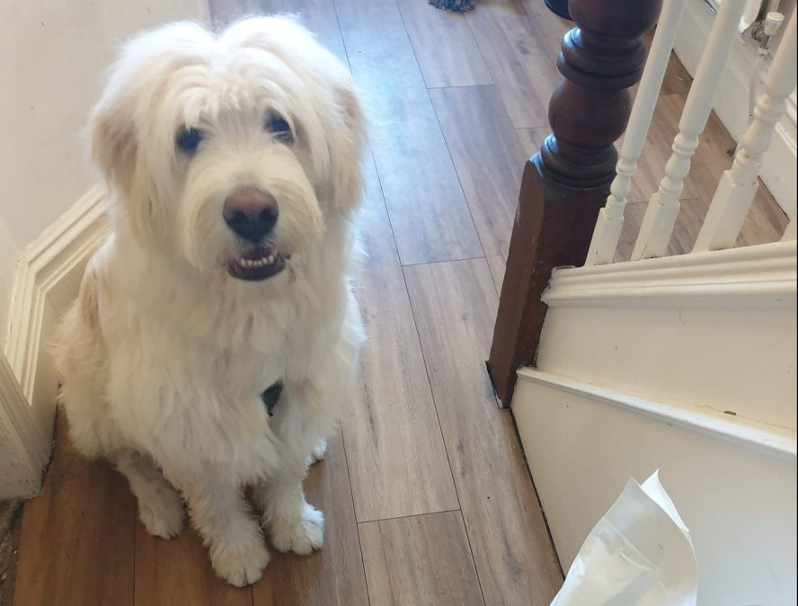 Fluffy white dog sat next to a bag of Breakthrough dog food