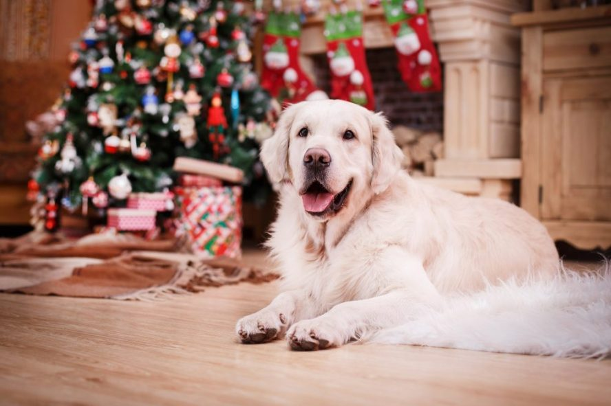 Golden Retriever in front of a Christmas Tree