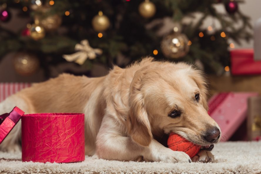 Golden Retriever Dog chewing ball at Christmas time